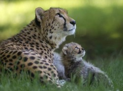 Cheetahs, mom and baby.