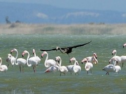 Scientists may have just spotted the only black flamingo in the world