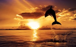 Sunset Dolphin <3