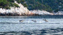 Dolphins in the Aegean Sea.