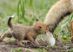 Baby fox playing with mommy's tail.