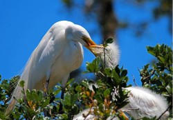 Great egret feeds chick.