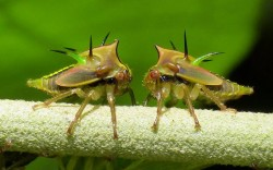 Two treehopper nymphs, look like armored insect warriors.