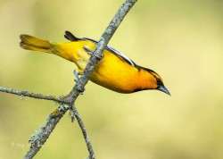 Bullocks-oriole, yellow belly.
