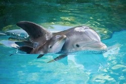 Dolphins, mother and child.